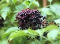 Zralé bobule černého bezu předznamenávají příchod podzimu