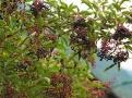 Odstřihávejte jen plně zralé plody černého bezu