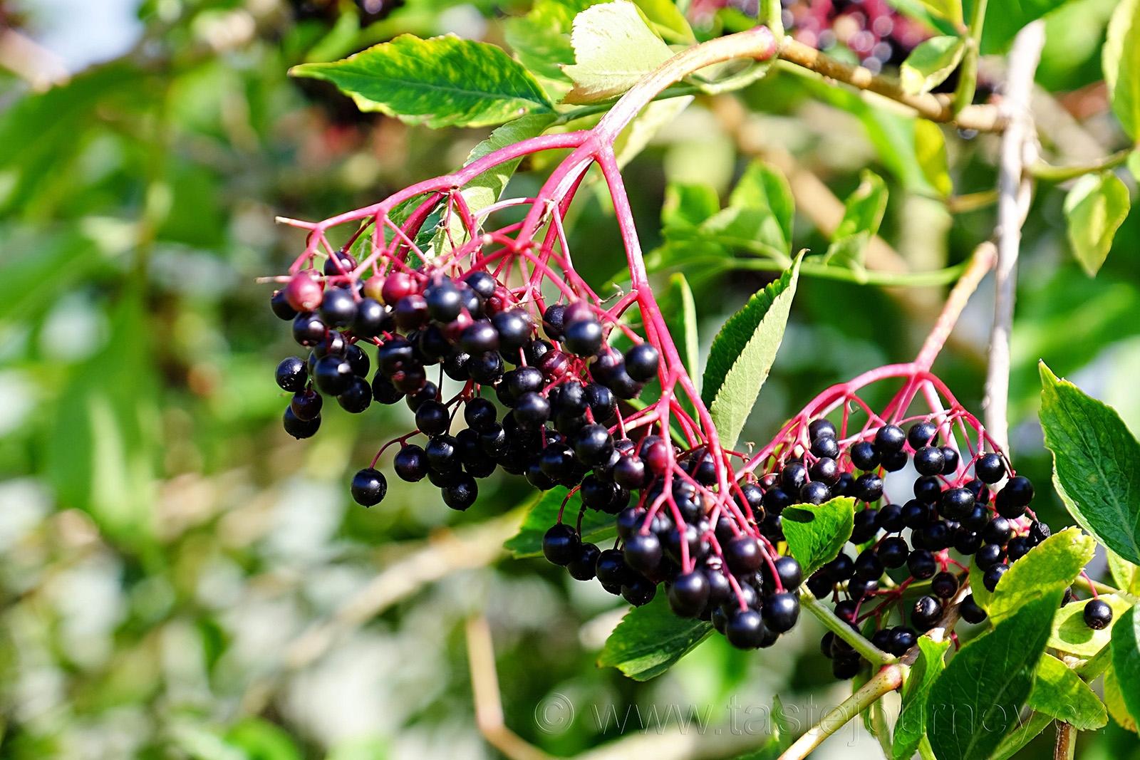 Plody keře Sambucus nigra, tedy černého bezu