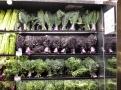 Různé odrůdy kadeřávku